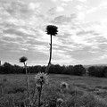 Bw Thistle  by Maria Urso