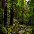 By The Stream In Muir Woods by Brian Tada