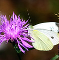 Cabbage Butterflies On Spotted Knapweed by Albert Seger
