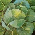 Cabbage by Jennifer Abbot