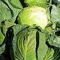Cabbage by Michiale Schneider