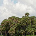 Cabbage Palm Hammock And Clouds by Paul Rebmann