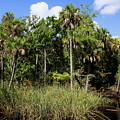 Cabbage Palms Along The Cotee River by Barbara Bowen