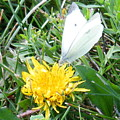 Cabbage White Butterfly  by April Patterson