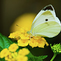 Cabbage White Butterfly by Betty LaRue