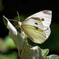 Cabbage White Butterfly by Brian Tada
