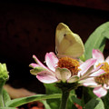Cabbage White Butterfly by Donna Brown