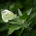 Cabbage White Butterfly by Matt Taylor
