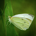 Cabbage White by Jeff Phillippi