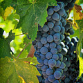 Cabernet Grapes by Nancy Ingersoll