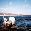 Cabo San Lucas Pelican by Will Borden