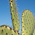 Cactus Against Blue Sky by Robert VanDerWal