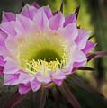 Cactus Bloom by Ricky Barnard