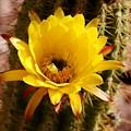 Cactus Bloom Yellow 050914a by Edward Dobosh
