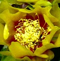Cactus Blossom Open by Mountain Femme