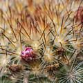 Cactus Bud by Ashley M Conger
