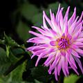 Cactus Dahlias Named Violetta by Torbjorn Swenelius