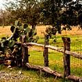 Cactus Fence Line by Noel Hankamer