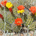 Cactus Flowers by Aimee L Maher ALM GALLERY