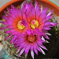 Cactus Flowers by Tom Janca