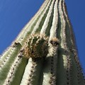 Cactus Height  by Diane Greco-Lesser
