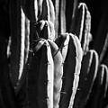 Cactus IIi by Peter OReilly