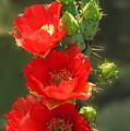 Cactus Red Beauty by Marilyn Smith