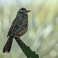 Cactus Wren 0295 by Tam Ryan