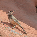 Cactus Wren by Richard Eastman