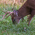 Cades Cove Buck by Mel Hensley