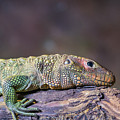 Caiman Lizard by Kevin Williams