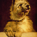 Cairn Terrier   by George Earl