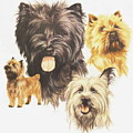 Cairn Terrier by Barbara Keith