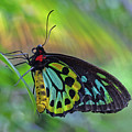 Cairns Birdwing by David Freuthal