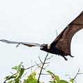 Cairns Fruit Bat by Walt Sterneman