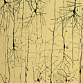 Cajal Drawing Of Microscopic Structure Of The Brain 1904 by Science Source