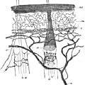 Cajal Illustration Rat Nerve Endings by Science Source