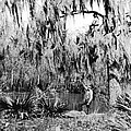 Cajuns Collecting Moss by Underwood Archives
