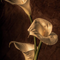 Cala Lilies by Mike Penney