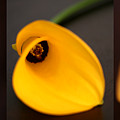Cala Lily Tryptych by Norah Holsten