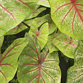 Caladium Leaves by Ron Dahlquist - Printscapes