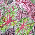 Caladiums Tropical Plant Art by Derek Mccrea