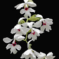 Calanthe Vestita Orchid by Rudy Umans