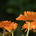 Calendula Blossoms by Robert Potts
