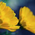 Calendula Flowers by Sharon Mau