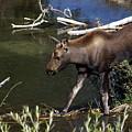 Calf Moose by Marty Koch