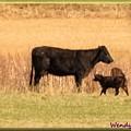 Calf by Wendy Fox