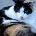 Calico 3 by Mary Deal