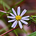 Calico Aster by Michael Whitaker