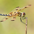 Calico Pennant by Abeselom Zerit